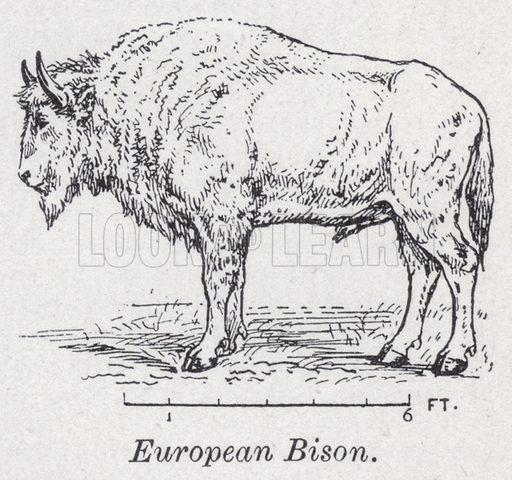 European bison. Illustration for The Harmsworth Encylopaedia (c 1922).