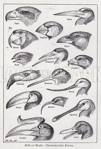 Bills or beaks, characteristic forms. Illustration for The Harmsworth Encylopaedia (c 1922).