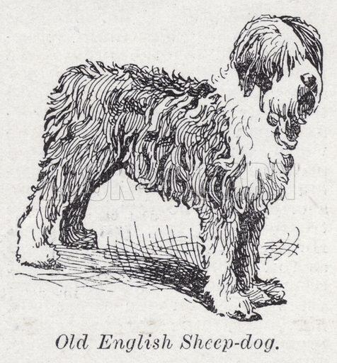 Old English sheep-dog. Illustration for The Harmsworth Encylopaedia (c 1922).