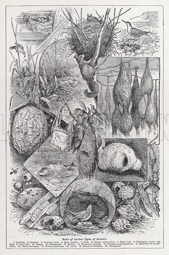 Nests of various types of animals. Illustration for The Harmsworth Encylopaedia (c 1922).