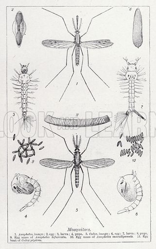 Mosquitoes. Illustration for The Harmsworth Encylopaedia (c 1922).