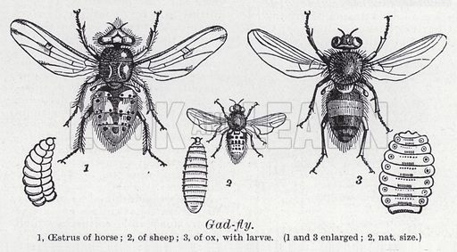 Gad fly. Illustration for The Harmsworth Encylopaedia (c 1922).