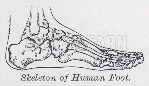 Skeleton of human foot. Illustration for The Harmsworth Encylopaedia (c 1922).