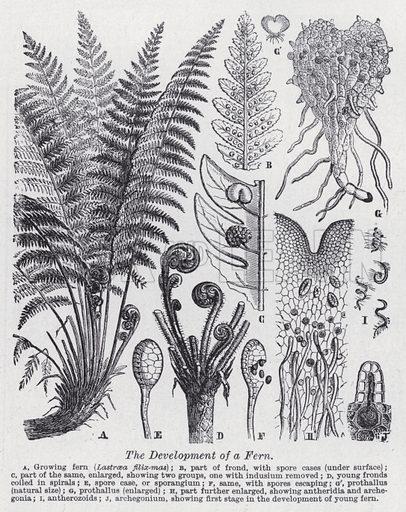 The development of fern. Illustration for The Harmsworth Encylopaedia (c 1922).