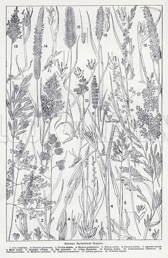 Common agricultural grasses. Illustration for The Harmsworth Encylopaedia (c 1922).