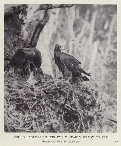 Young eagles in their eyrie nearly ready to fly. Illustration for More Heroes of Modern Adventure by T C Bridges and H Hessell Tiltman (Harrap, 1929).