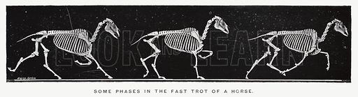 Some phases in the fast trot of a horse. Illustration for Animals in Motion, An Electro-Photographic Investigation of Consecutive Phases of Muscular Actions, by Eadweard Muybridge, Commenced 1872, Completed 1885 (5th impression, Chapman & Hall, 1925).