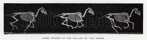 Some phases in the gallop of the horse. Illustration for Animals in Motion, An Electro-Photographic Investigation of Consecutive Phases of Muscular Actions, by Eadweard Muybridge, Commenced 1872, Completed 1885 (5th impression, Chapman & Hall, 1925).