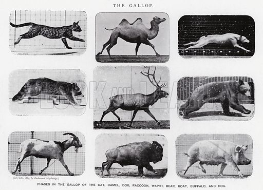 The Gallop. Illustration for Animals in Motion, An Electro-Photographic Investigation of Consecutive Phases of Muscular Actions, by Eadweard Muybridge, Commenced 1872, Completed 1885 (5th impression, Chapman & Hall, 1925).
