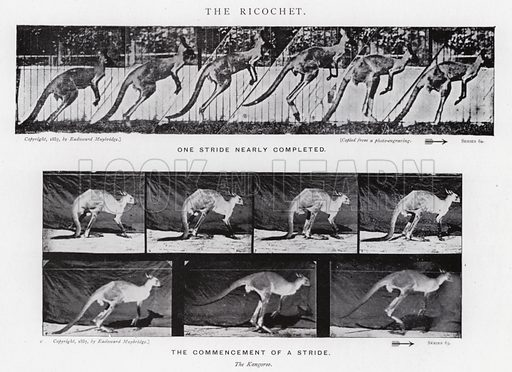 The Ricochet. Illustration for Animals in Motion, An Electro-Photographic Investigation of Consecutive Phases of Muscular Actions, by Eadweard Muybridge, Commenced 1872, Completed 1885 (5th impression, Chapman & Hall, 1925).