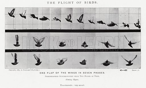 The Flight of Birds. Illustration for Animals in Motion, An Electro-Photographic Investigation of Consecutive Phases of Muscular Actions, by Eadweard Muybridge, Commenced 1872, Completed 1885 (5th impression, Chapman & Hall, 1925).