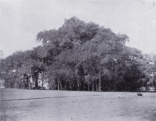 The Banyan Tree. Illustration for Calcutta Illustrated (Thacker, Spink, c 1900).