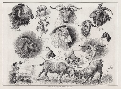 Goat Show at the Crystal Palace. Illustration for The Illustrated Sporting and Dramatic News, 9 June 1883.