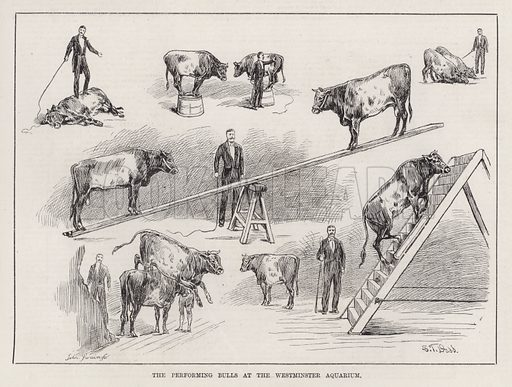 The Performing Bulls at the Westminster Aquarium. Illustration for The Illustrated Sporting and Dramatic News, 27 October 1883.
