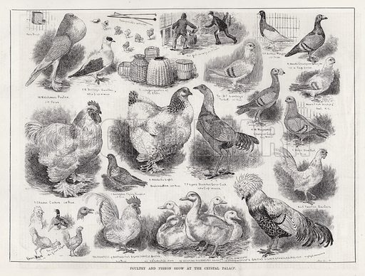 Poultry and Pigeon Show at the Crystal Palace. Illustration for The Illustrated Sporting and Dramatic News, 24 November 1883.