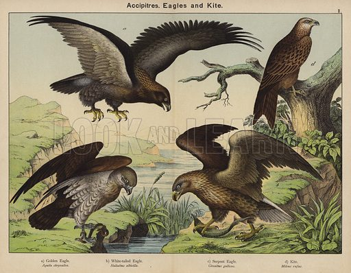Accipitres, Eagles and Kite. Illustration for Natural History of the Animal Kingdom for the Use of Young People, Part II, Birds, by W F Kirby (SPCK, 1889).