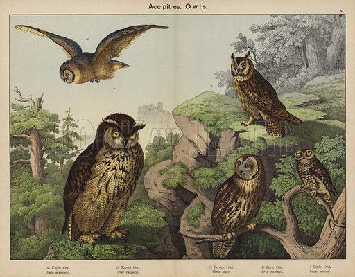 Accipitres, Owls. Illustration for Natural History of the Animal Kingdom for the Use of Young People, Part II, Birds, by W F Kirby (SPCK, 1889).