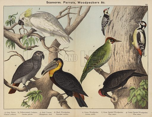 Scansores, Parrots, Woodpeckers. Illustration for Natural History of the Animal Kingdom for the Use of Young People, Part II, Birds, by W F Kirby (SPCK, 1889).