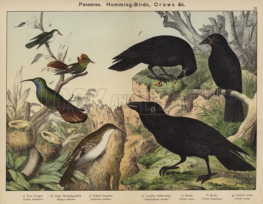 Passeres, Humming-Birds, Crows. Illustration for Natural History of the Animal Kingdom for the Use of Young People, Part II, Birds, by W F Kirby (SPCK, 1889).