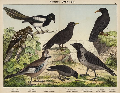 Passeres, Crows. Illustration for Natural History of the Animal Kingdom for the Use of Young People, Part II, Birds, by W F Kirby (SPCK, 1889).