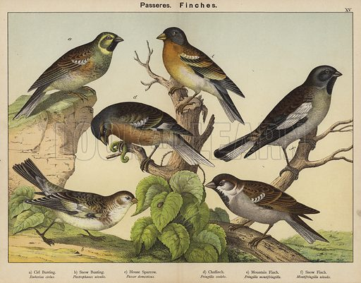 Passeres, Finches. Illustration for Natural History of the Animal Kingdom for the Use of Young People, Part II, Birds, by WF Kirby (SPCK, 1889).