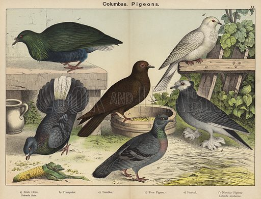 Columbae, Pigeons. Illustration for Natural History of the Animal Kingdom for the Use of Young People, Part II, Birds, by W F Kirby (SPCK, 1889).