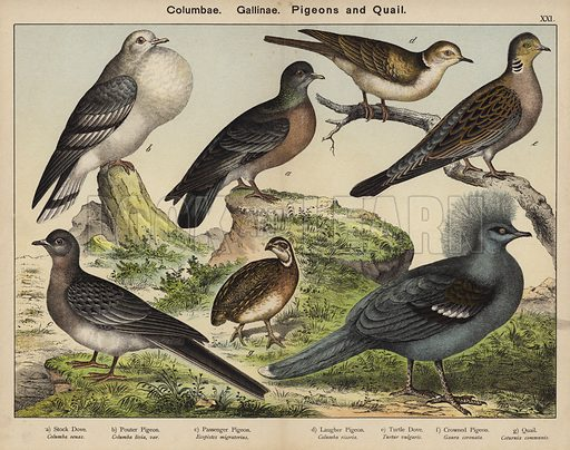 Columbae, Gallinae, Pigeons and Quail. Illustration for Natural History of the Animal Kingdom for the Use of Young People, Part II, Birds, by W F Kirby (SPCK, 1889).