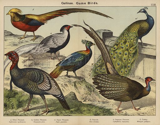 Gallinae, Game Birds. Illustration for Natural History of the Animal Kingdom for the Use of Young People, Part II, Birds, by W F Kirby (SPCK, 1889).