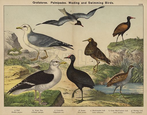 Grallatores, Palmipedes, Wading and Swimming Birds. Illustration for Natural History of the Animal Kingdom for the Use of Young People, Part II, Birds, by WF Kirby (SPCK, 1889).