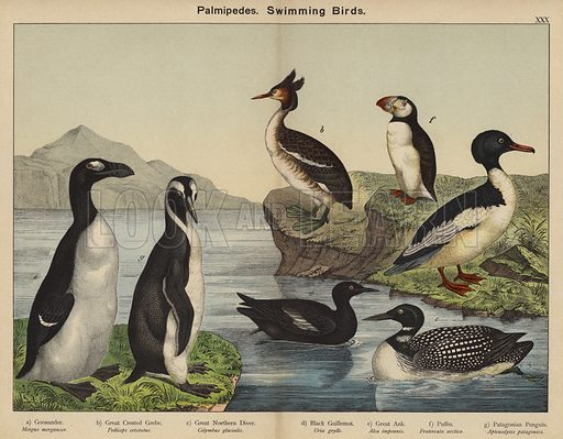 Palmipedes, Swimming Birds. Illustration for Natural History of the Animal Kingdom for the Use of Young People, Part II, Birds, by W F Kirby (SPCK, 1889).