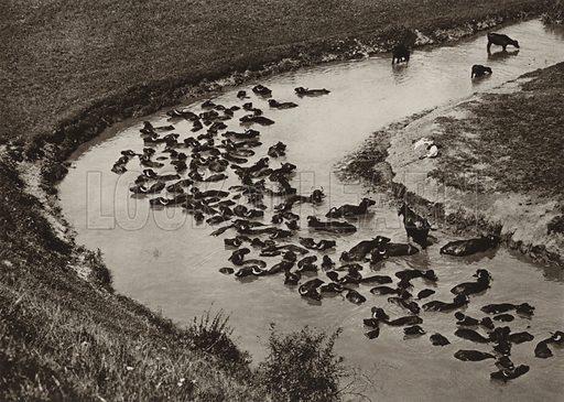 Water buffaloes. Illustration for Rumanien, Landschaft, Bauten, Volksleben, by Kurt Hielscher (F A Brockhaus, 1933).  Gravure printed.