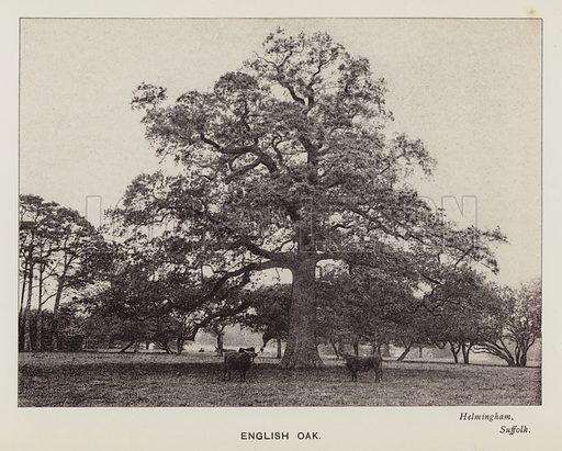 British Trees: English Oak, Helmingham, Suffolk