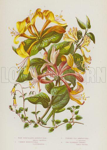 Pale Perfoliate Honeysuckle, Common Honeysuckle, Upright Fly Honeysuckle, Two Flowered Linnaea. Illustration for The Flowering Plants of Great Britain by Anne Pratt (Frederick Warne, c 1880).
