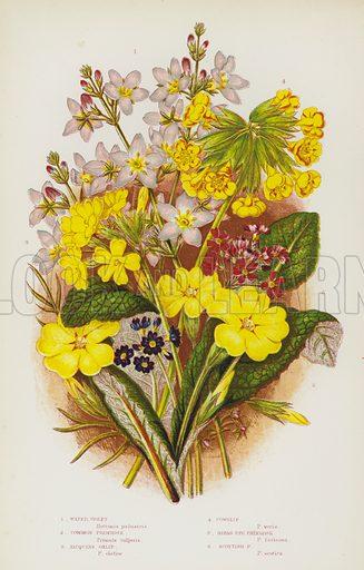Water Violet, Common Primrose, Jacquins Oxlip, Cowslip, Birds Eye Primrose, Scottish Primrose. Illustration for The Flowering Plants of Great Britain by Anne Pratt (Frederick Warne, c 1880).