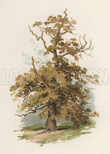 Trees: The Oak