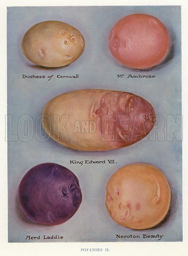 Potatoes. Illustration for The Vegetable Grower's Guide by John Wright and Horace J Wright (Virtue, c 1910).
