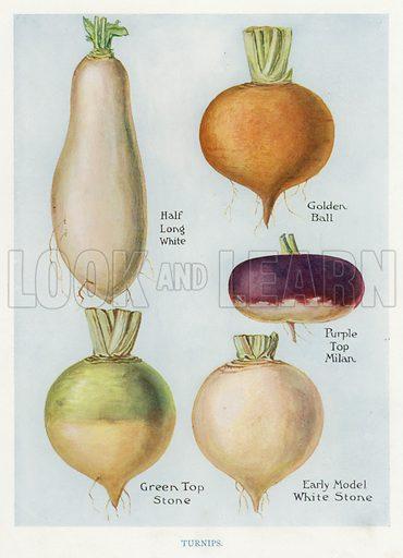 Vegetable Grower's Guide: Turnips