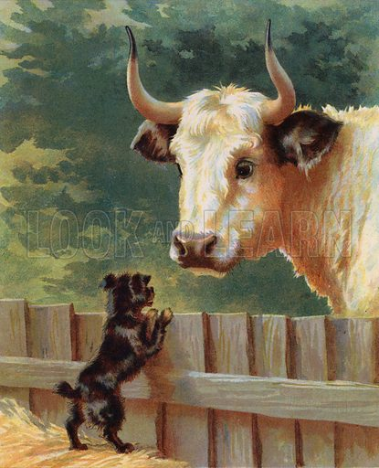 Puppy confronting a bull on afarm