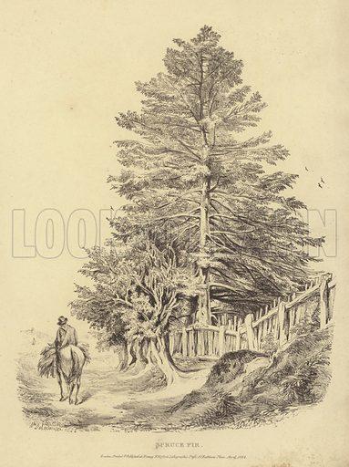 Spruce fir. Illustration from Characters of Trees, by William de la Motte (William de la Motte, Sandhurst, 1822).