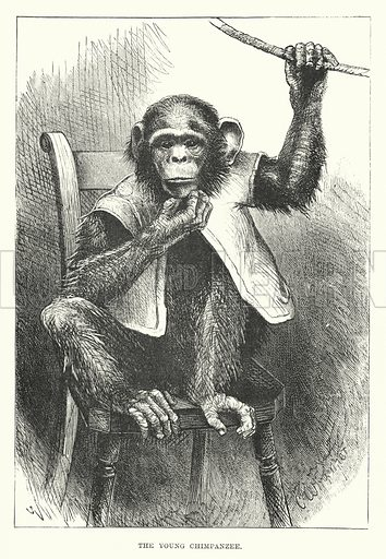 The young chimpanzee