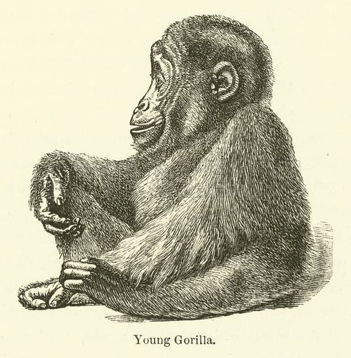 Young Gorilla. Explorations and Adventures in Equatorial Africa by Paul B du Chaillu (John Murray, 1861).