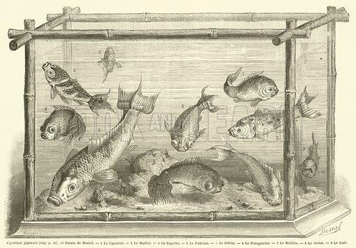 Aquarium japonais. 1 Le Capucine. 2 Le Marbre. 3 Le Superbe. 4 Le Rubicon. 5 Le Creole. 6 Le Frangemine. 7 Le Mulatre. 8 Le Cerise. 9 Le Dore. Illustration for Le Tour Du Monde (Hachette, 1866 1H).