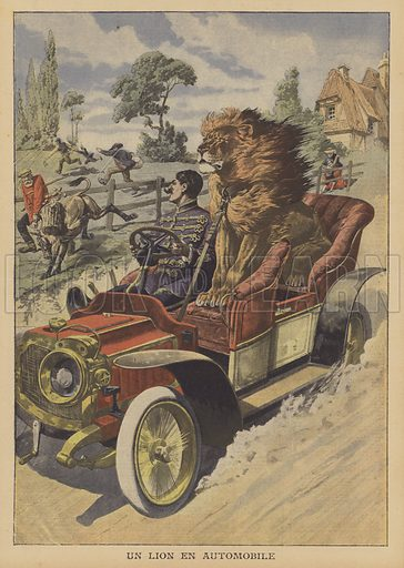 A German lion tamer taking one of his animals for a drive in his car