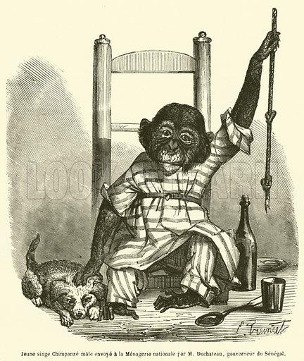 Jeune singe Chimpanze male envoye a la Menagerie nationale par M Duchateau, gouverneur du Senegal