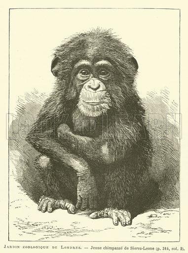 Jardin zoologique de Londres, Jeune chimpanze de Sierra-Leone