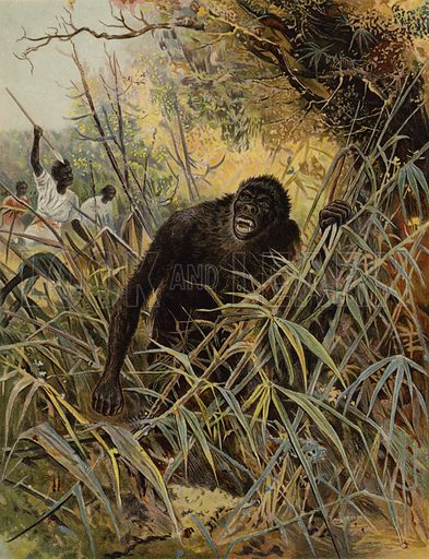 Chasing a Gorilla. Illustration for Chatterbox (1899).