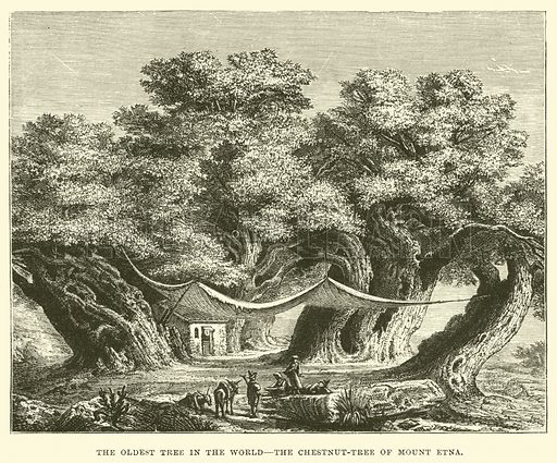 The Oldest Tree in the World, the Chestnut-Tree of Mount Etna. Illustration for The Life of William Ewart Gladstone by George Barnett Smith (Cassell, c 1890).