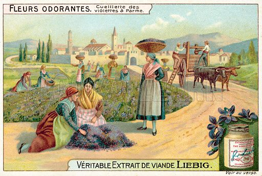 Picking violets near Parma, Italy. Liebig card, published in late 19th or early 20th century. From a series on fragrant flowers.