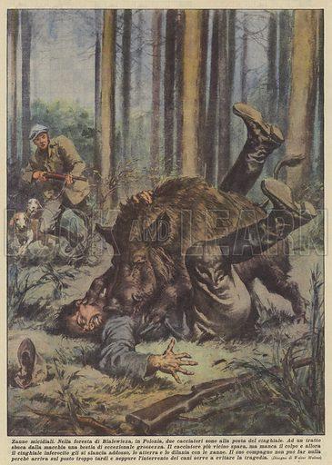 Zanne micidiali. Nella foresta di Bialowieza, in Polonia, due cacciatori sono alla posta del cinghiale. Ad un tratto sbuca dalla macchia una bestia di eccezionale grossezza. Il cacciatore piu vicino spara, ma manca il colpo e allora il cinghiale inferocito gli si slancia addosso, lo atterra e lo dilania con le zanne. Il suo compagno non puo far nulla perche arriva sul posto troppo tardi e neppure l