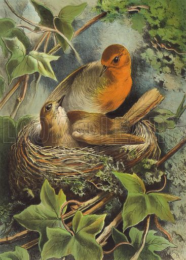 Robin and its nest.  Illustration for Beautiful Birds drawn by Giacomelli (Thomas Nelson, c 1885).  Chromolithograph of exceptional quality.